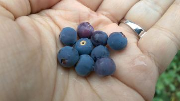 Huckleberries! Be still my berry lovin' heart.