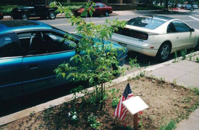 transplanted tree with wooden plaque and American flag