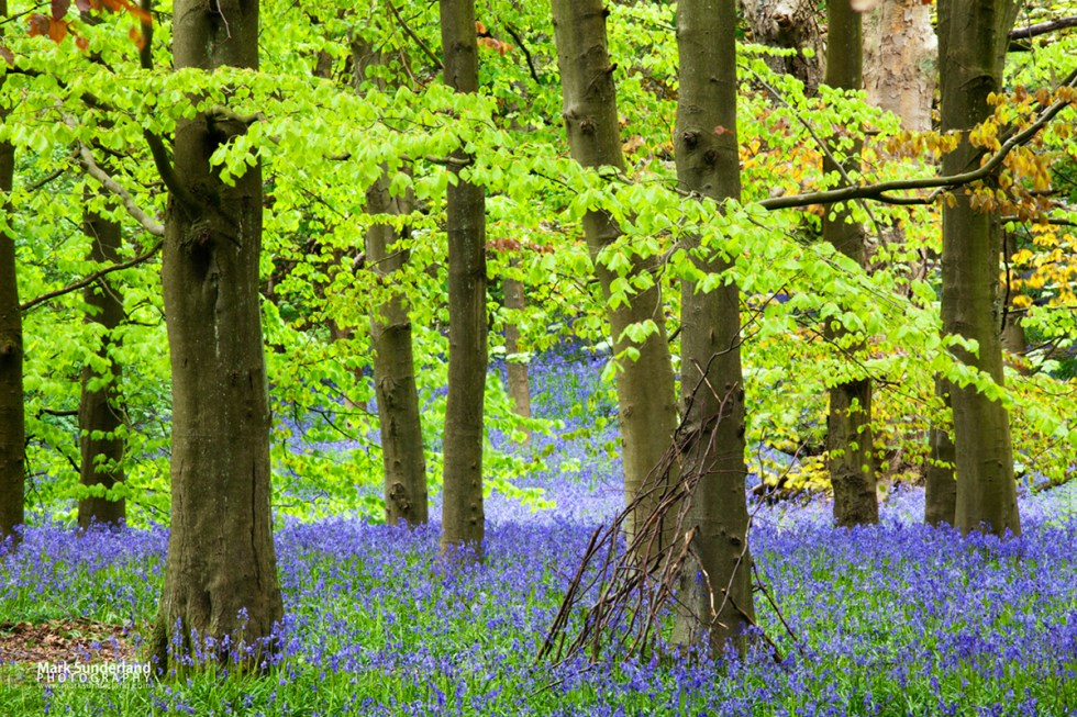 Twigs against a Tree and Bluebells in Middleton Woods, Ilkley