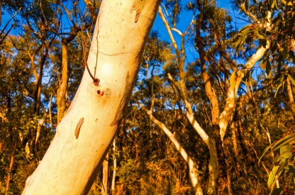 Stock Photography - Eucalyptus Trees