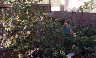 Janet picking apricots in the summer harvest from the tree we planted when we took residence of this house back in 1995 -- photo by her apricot-eating-husband on July 15, 2001