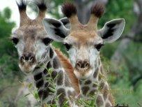 Marla-Ahlgrimm-baby giraffes