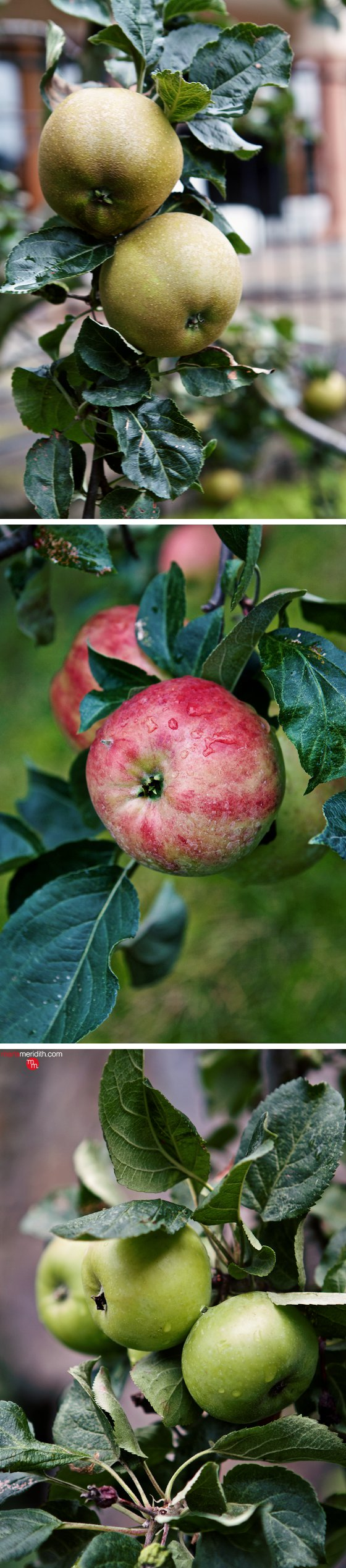 Apple love in the South Tyrol! Vols, Italy. MarlaMeridith.com ( @marlameridith )