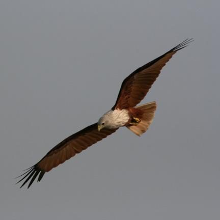 I worked hard to get this shot of the circling Brahmin Kite