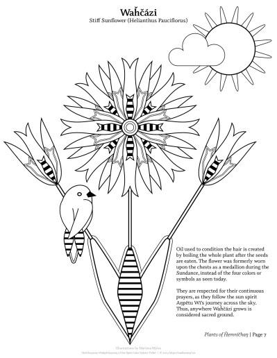Waȟčázi | Stiff Sunflower (Helianthus pauciflorus)