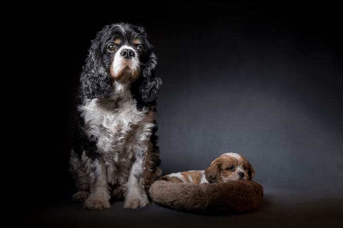 Cavelier king charles spaniel and Boomer