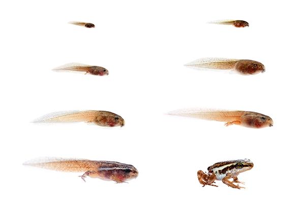 Epipedobates anthonyi