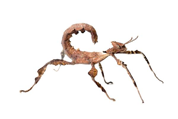 Extatosoma tiaratum