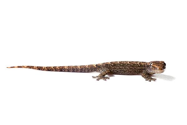 Lepidodactylus lugubris