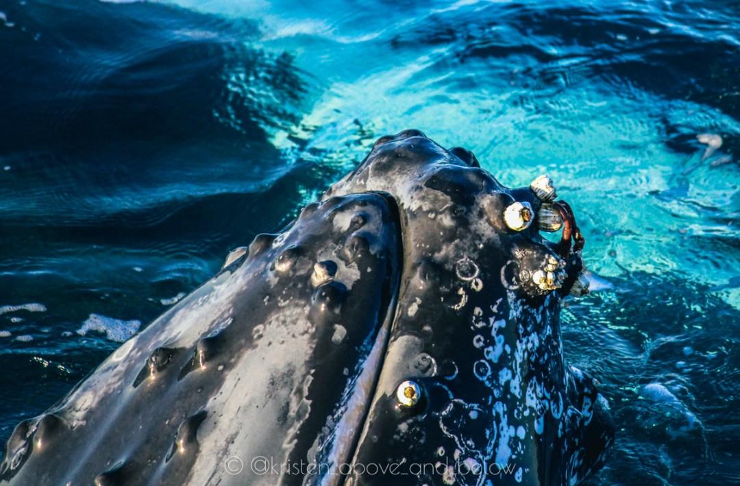 Humpback Whale Close Up Barnacles Hervey Bay by Kristen MacDonald
