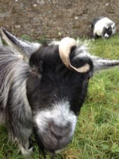 Hello, Mr Goat; sorry to bother you.