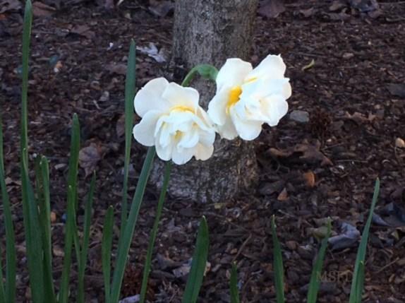 While Daffodils
