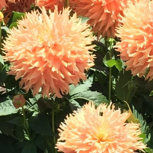 Conservatory Dahlia