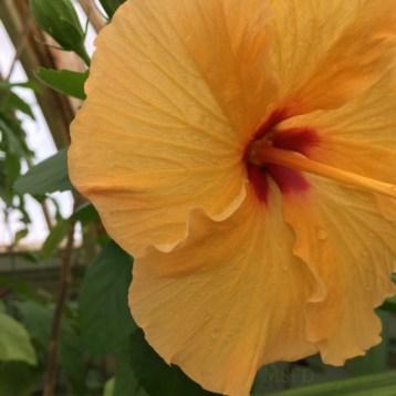 Conservatory Hibiscus