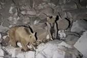(Özel) Dağda konaklayan kampçıları ayılar ziyaret etti
