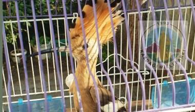 Yaralı ibibik kuşu tedavi altına alındı