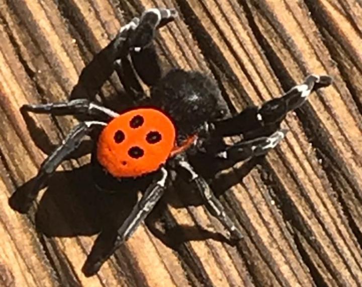 Dünyanın en zehirli örümceği Marmaris'te