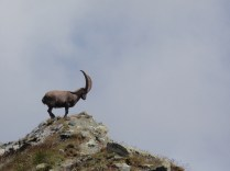 An Alpine Ibex standing on top of a mountain