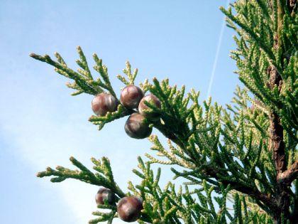 1280px-Juniperus_phoenicea