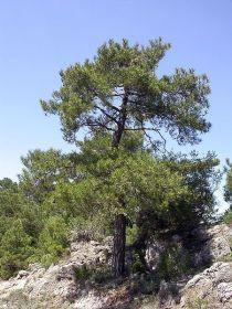 450px-Pinus_nigra_salzmannii_fg01