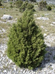 Juniperus_phoenicea1