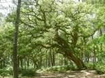 1024__768__crop__-wp-content-uploads-noesit-medias-27168-rn-courant-d-huchet-leon-chene-liege-labelise-arbre-remarquable-1-ts