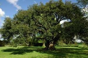 Le Chêne Vert atlante