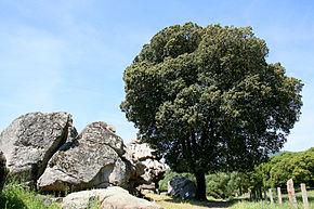 290px-Quercus_ilex_JPG1