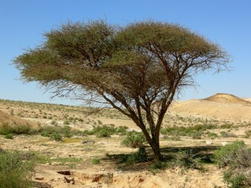 Acacia_Maroc