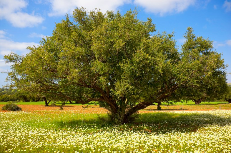 Argan tree with nuts on branches. Concept for the healthy oil made of argan nuts, for health, culinary use, massage oil, and cosmetics.