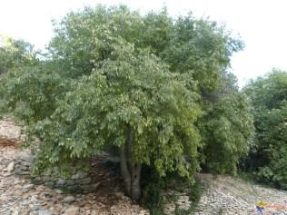 micocoulier---celtis-australis-visoflora-94737