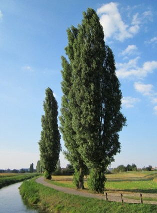 populus-nigra-844512_960_720