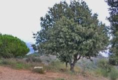 quercus-ilex