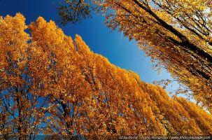 thumb_La_robe_jaune_or_des_peupliers_en_automne_