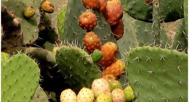 فوائد فاكهة التين الشوكي من الألف إلى الياء