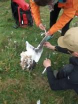 atelier dé-plumage de goelle