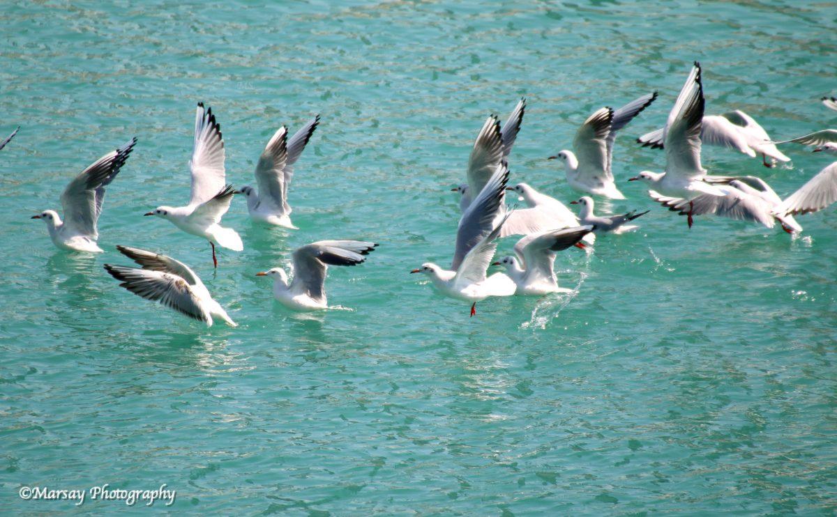 Seagulls Take-Off - Bahrain 2016