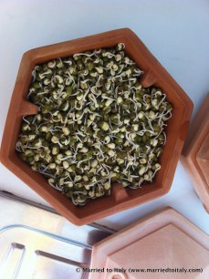 mung beans - day two