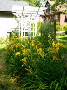 daylilies, Welty, garden