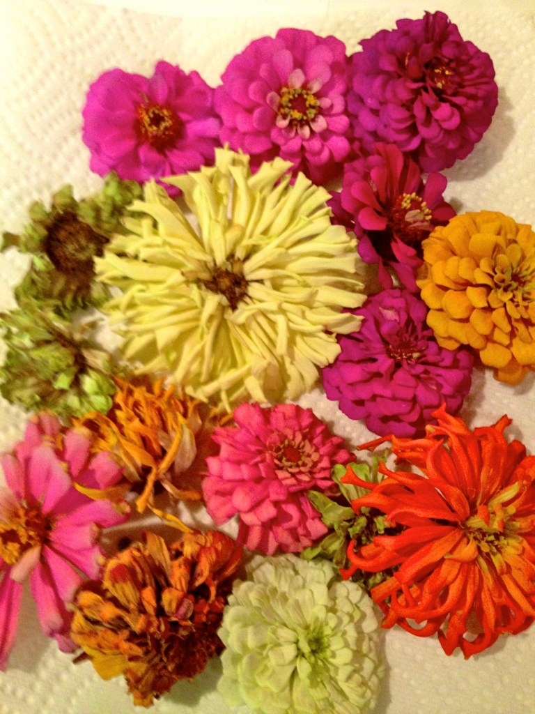 Zinnias for seed