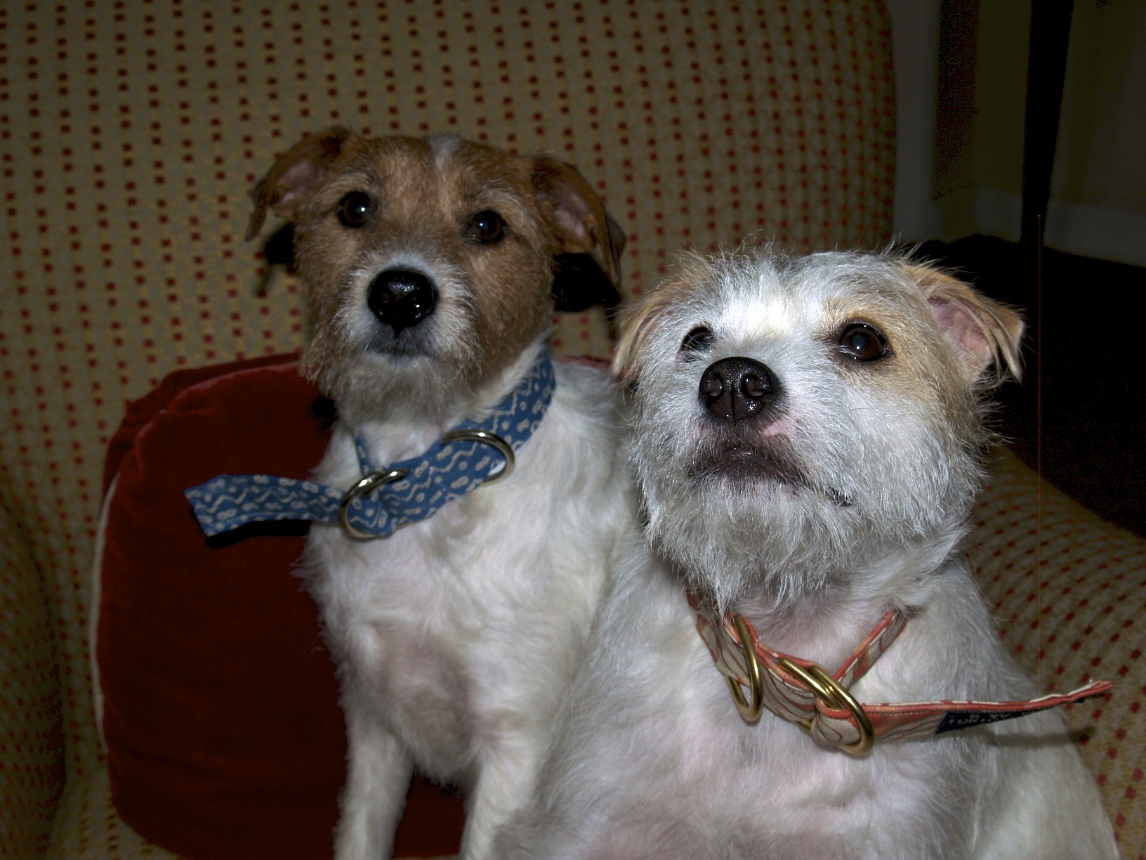 fortuny dog collars