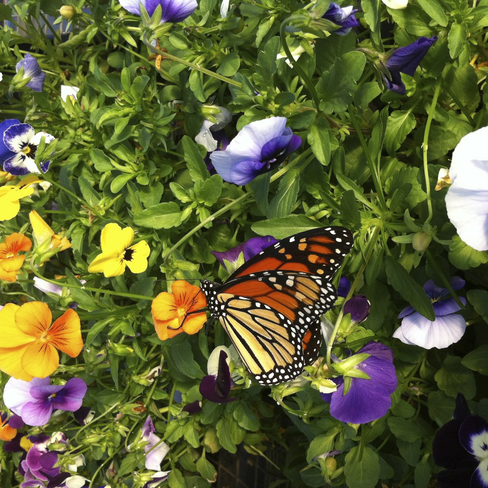 butterfly, pansies