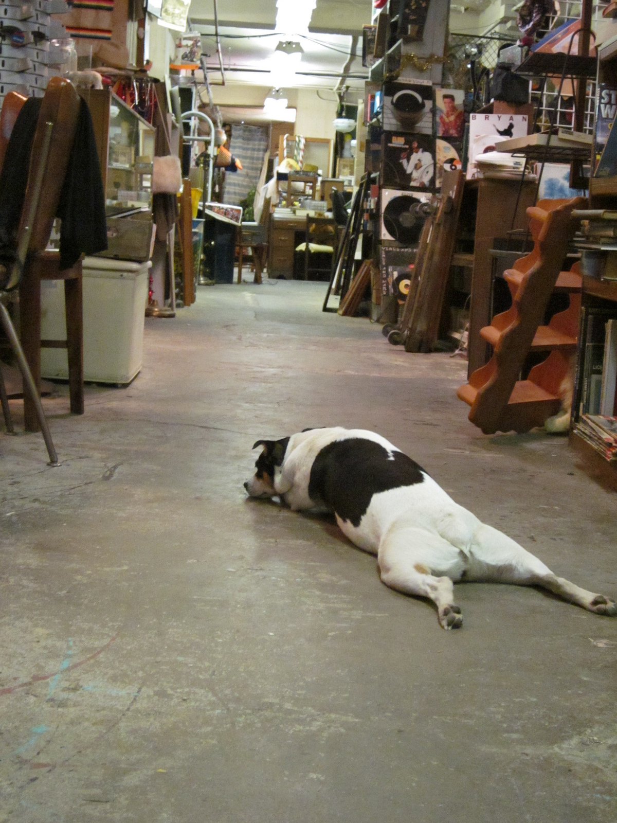 dog in antique shop