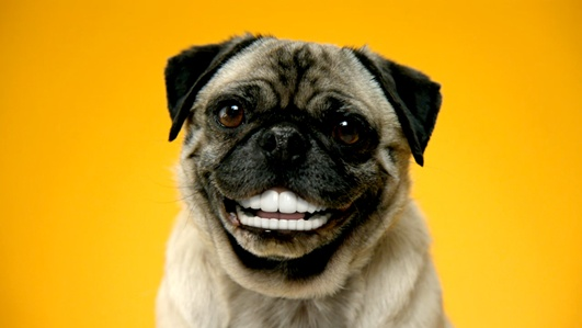 dog with dentures