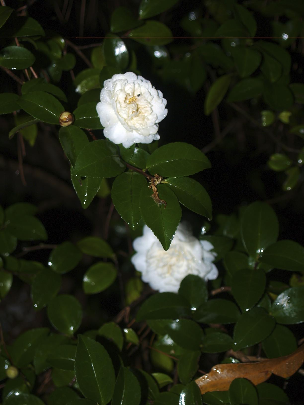 White Sasanqua