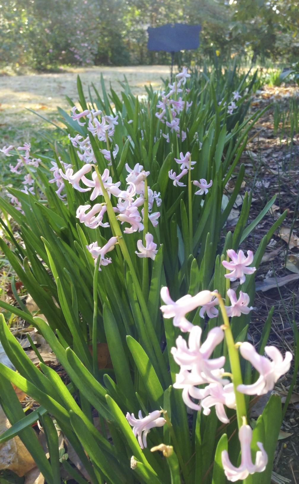 french roman hyacinth