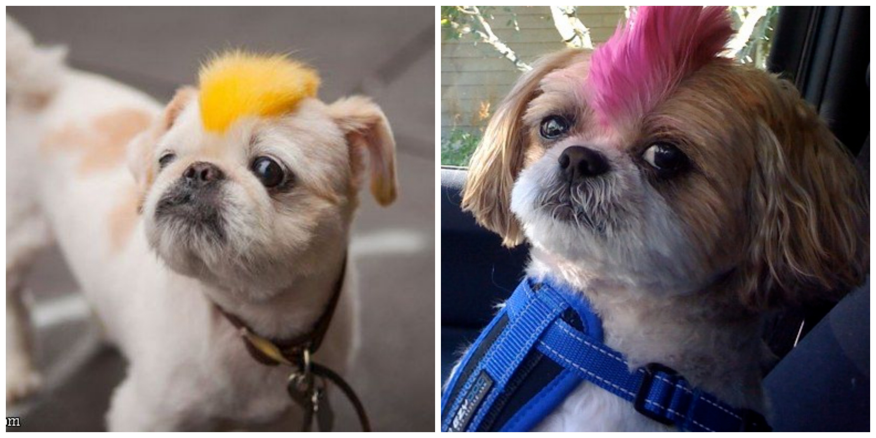 dogs with mohawks