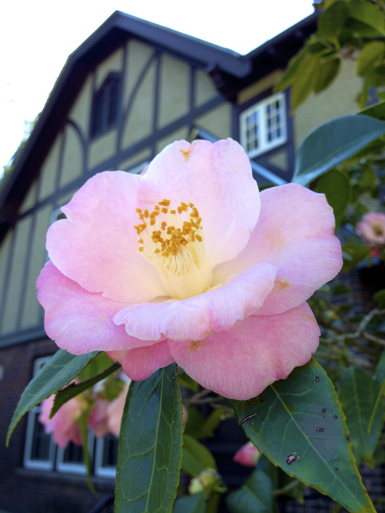 camellia at Eudora Welty House