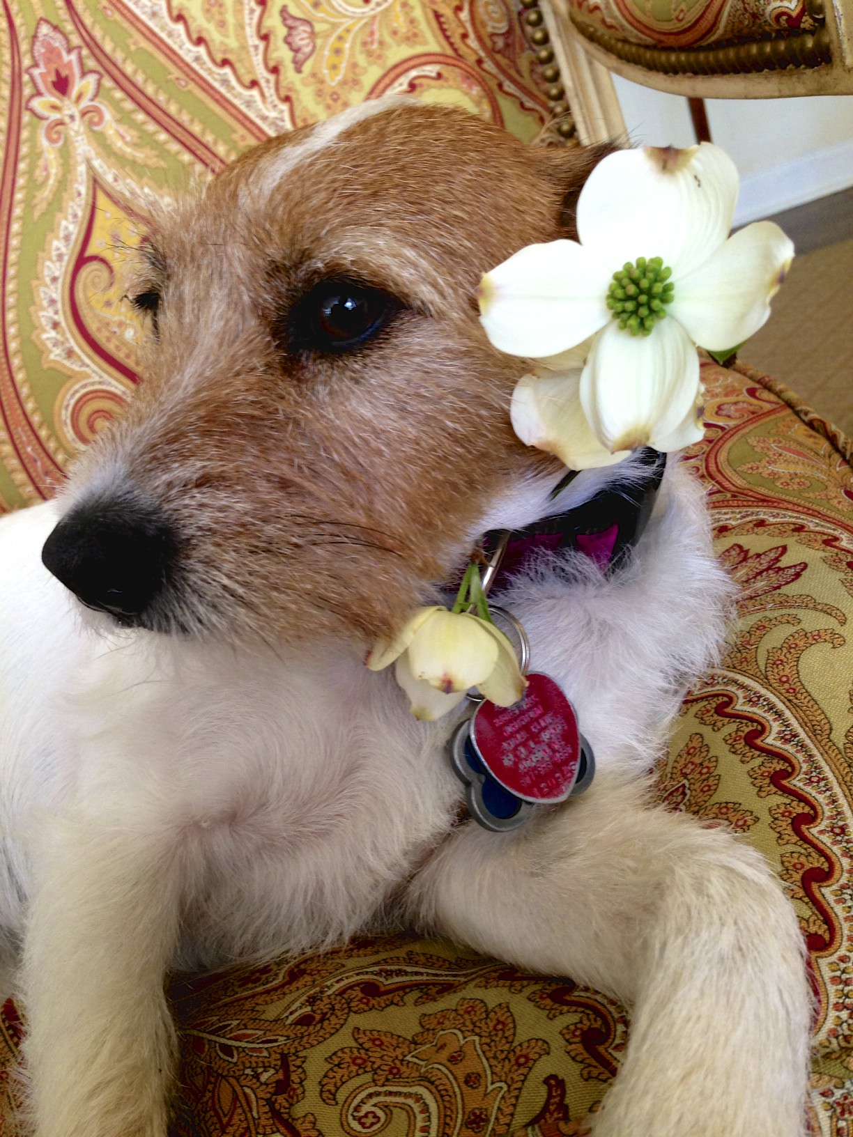 jack russell terrier with dogwood