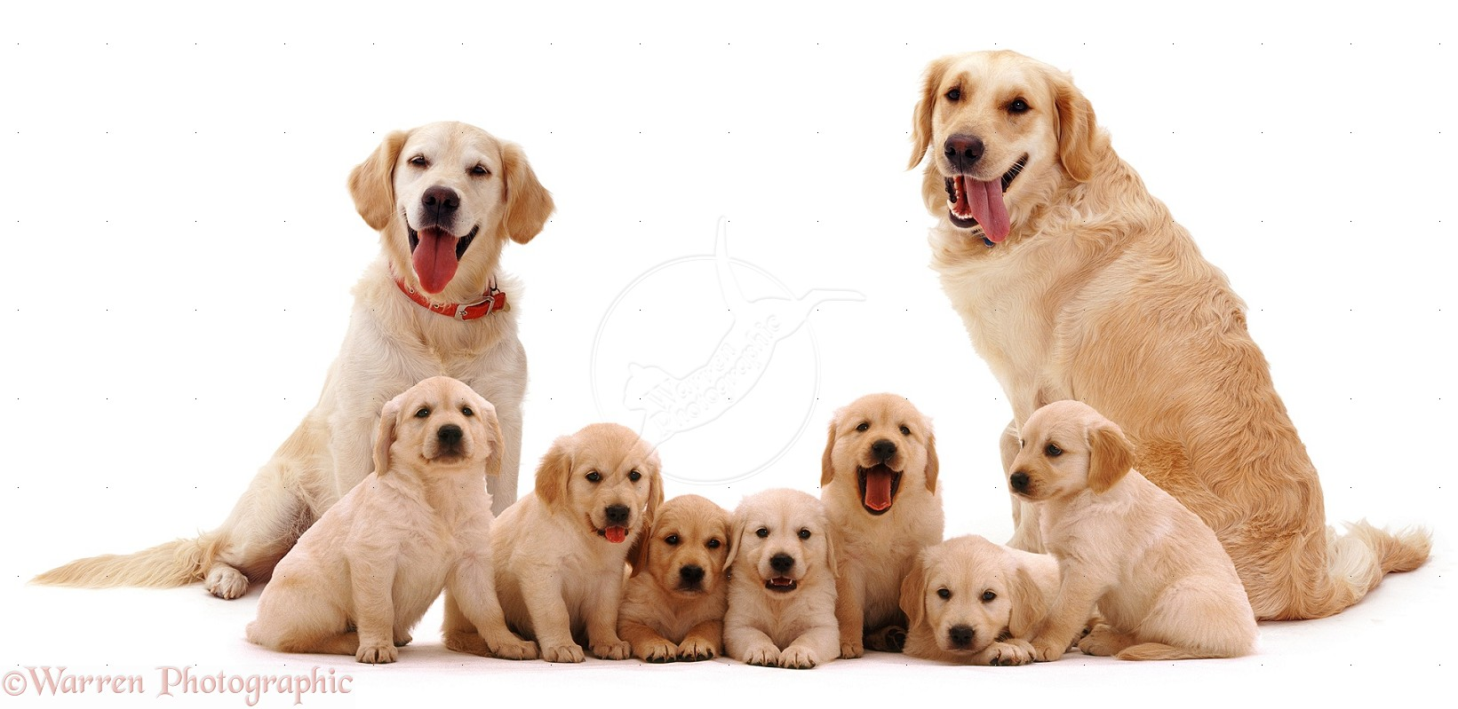 golden retriever family